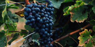 Les différents cépages du vin blanc du Jura